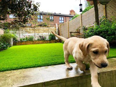 artificial grass faqs - puppy walking away from artificial grass