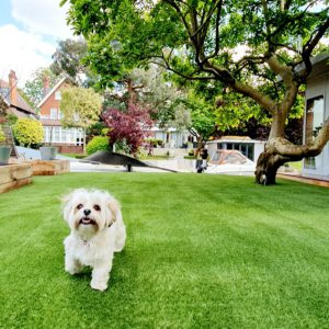 Dog playing on artificial grass